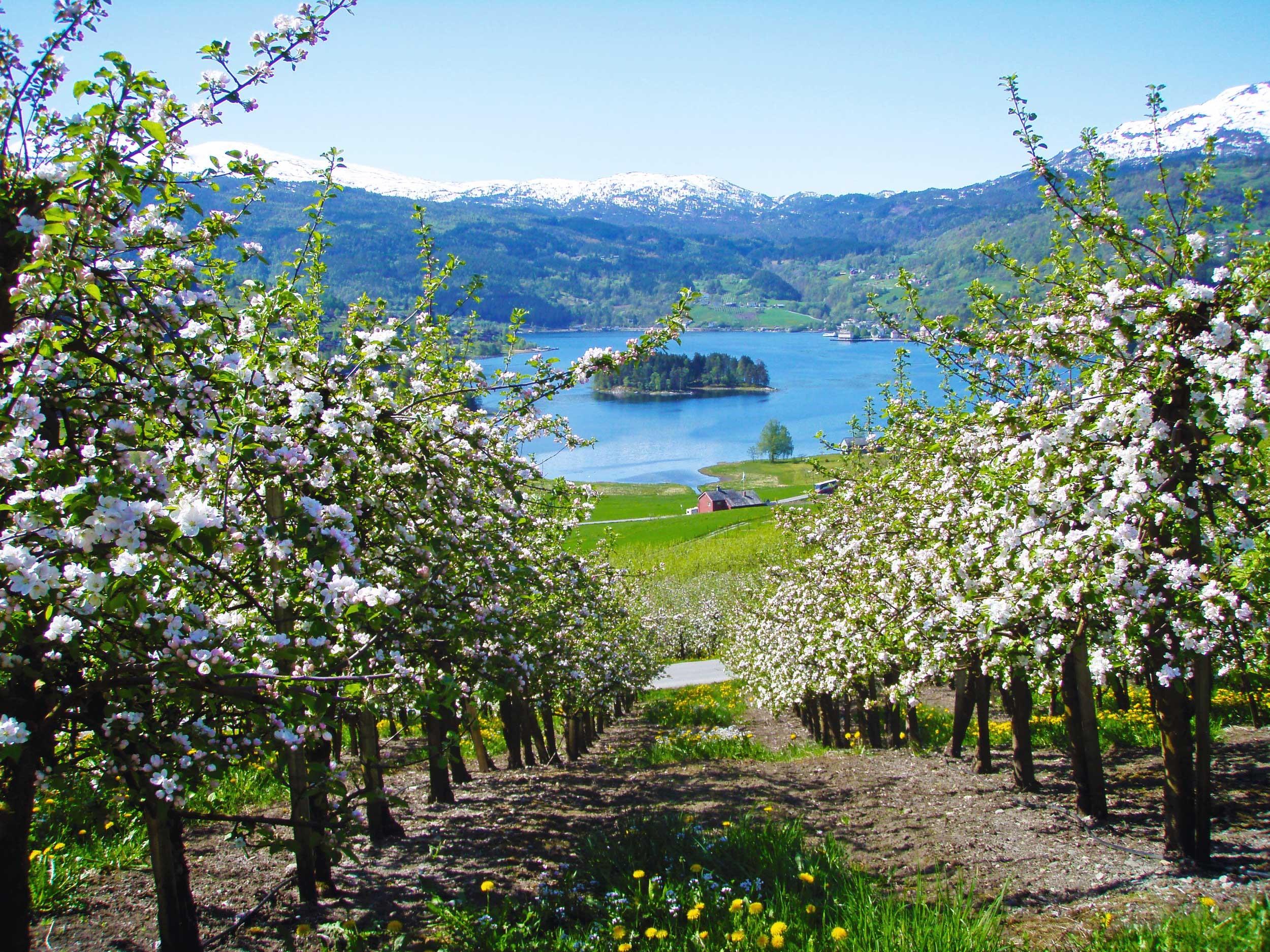 Fruit flowering in Ulvik, Hardanger.