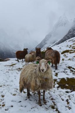 Winter - Sheep in the inner part of the Nærøyfjord in Sogn