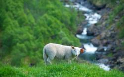 Sheep at Sinjarheim Mountain farm in the Aurlandsdalen Valley.