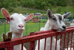 Goats in Undredal in Sogn. Sogn og Fjordane, Norway.