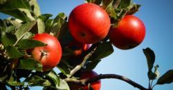 32 Apples growing in Hardanger.