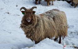 Frozen Sheep