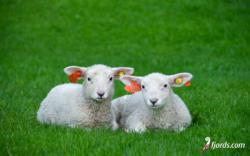 Sheep at Åkrabotn