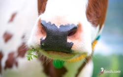 Cow enjoying life
