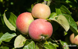 Apples from Urnes