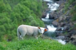 Sheep with a view. From the Aurlandsdalen Valley. Photo: www.fjords.com