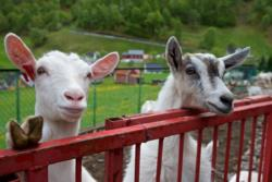 Happy goats from Undredal